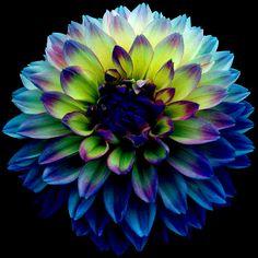 Blue Dahlia by snathaid-mhor.deviantart.com on @DeviantArt