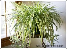 Chlorophytum comosum Vittatum Spider plants are easy to look after houseplants that originate from the tropical and southern regions of Africa. This variety is the first variegated cultivar. It has mid-green leaves with a broad central white stripe. Ficus, Indoor Plants Low Light, Indoor Herbs, Chlorophytum, Growing Plants Indoors, Apartment Plants, Decoration Plante, Spider Plants, Plant Needs