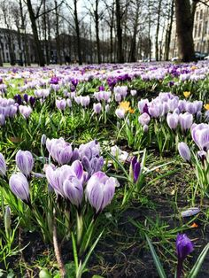 Crocus - Spring Lange Voorhout - The Hague