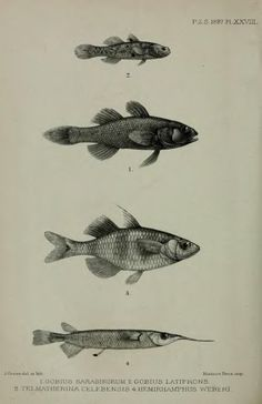 4. An account of the freshwater fishes collected in Celebes by Drs. P. & F. Sarasin - BioStor