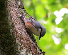Nuthatch In The Bialowieza Forest - East Poland Poland, Places To Go, National Parks, Outdoor Decor, Animals, Animales, Animaux, Animal, Animais