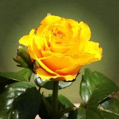 #yellowrose #rose #yellowandgreen #yellow #green #inmygarden #garden #rosa…