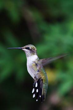 Hummingbird - Jason Smith - Prints and custom framing available!