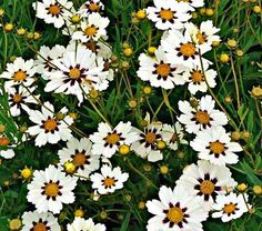 Coreopsis Big Bang™ Star Cluster. Creamy white petals with deep purple patches surround a honey-colored eye during the cooler days of early summer and fall. Because the plants never set seed, they just keep on flowering.