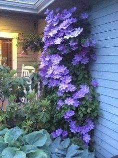 clematis vine in  Stanwood, WA, 98292 - Assist2Sell