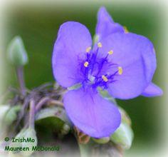 Lavender Wildflower by Maureen McDonald