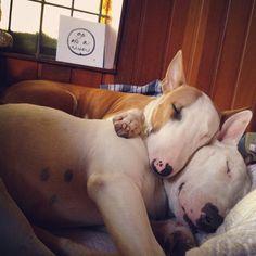 Bliss! #dogs #pets #BullTerriers Facebook.com/sodoggonefunny