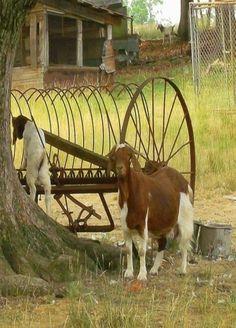 Goats By Old Farm Hay Rake