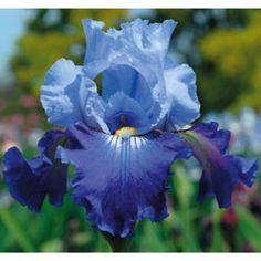 """Iris """"Corona Star"""""""