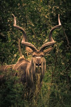 The Greater Kudu (Tragelaphus strepsiceros) is a woodland antelope found throughout eastern and southern Africa, and is one of the largest species of antelope. Males weigh 420–600 lb, with a max of 690 lb, and stand up to 63 in tall at the shoulder. The ears of the greater kudu are large and round. Females weigh 260–460 lb and stand as little as 39 in tall at the shoulder; they are hornless, without a beard or nose markings.