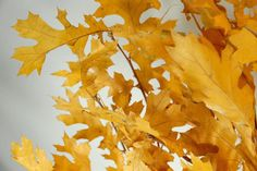 """Natural Preserved Black Oak 24"""" Branches Yellow Leaves (4-6 branches) $4.99 bundle/ 3 bundles for $4 each"""