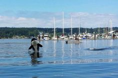 Orcas in Liberty Bay, Poulsbo, WA 2013