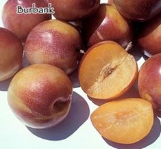 Burbank Plumcot, grafted 1 year old tree, 6-10 inches tallshipped with roots wrapped in wet media, plastic during dormancy. Shipped in the box.Shipped in container with soil during active vegetation (summer months).OverviewRed and golden yellow skin. Yellow-orange (apricot colored) flesh is firm, sweet, aromatic, juicy and uniquely flavored. Relatively small tree, cold hardy. Imported from Japan by Luther Burbank. From Luther Burbank's heirloom garden, more on the plum than the apricot side…