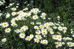 Image result for leucanthemum vulgare