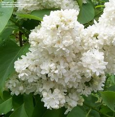 Heavenly double white lilac