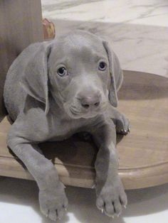 Weimaraner Puppy - also good for distance running. Look at those eyes!