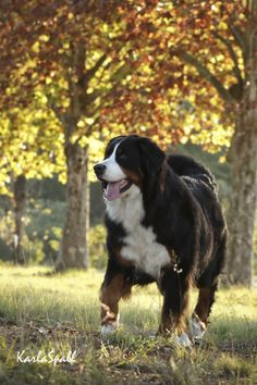 Bermese... dream mountain dog, but I live in the city now.,.. pity