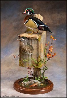wood duck taxidermy mount
