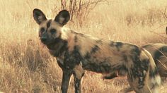 South Africa's wild dogs' fight for survival is an inspiring story of how conservationists can make a difference in Africa. Wild dogs have been critically endangered for decades, but their fight for survival continues with small but important victories being made along the way. The team at Wildlife ACT monitors and ensures the safety of these precious animals.