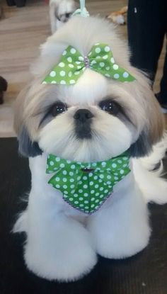 Found this little cutie on Facebook. Thought this groom was adorable. Looks like she is ready for St Patrick's Day!