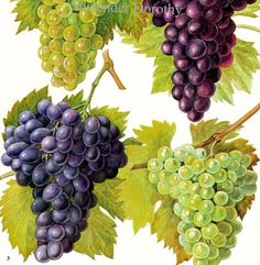 Wine Grapes Vineyard Fruit Chart Food Botanical Lithograph Illustration For Your Vintage Kitchen. $11.89, via Etsy.
