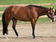 Cavalo Waler 3 600x447 Raça de Cavalo Waler