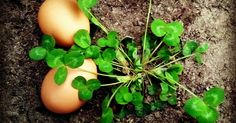 The Down and Dirty on Feeding Clover to your Chickens | Fresh Eggs Daily®
