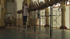 Trabajos realizados de desmontaje, limpieza y preparación de moldes del esqueleto de ballena del Salón Central, noviembre y diciembre 2012.