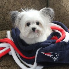 When he wanted to show his team pride in the most adorable way possible. | 22 Times Norbert The Therapy Dog Warmed Your Heart
