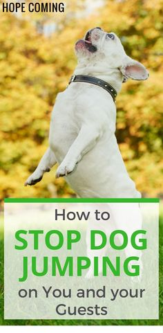 Check out 2 simple ways to stop dog jumping on you and your guests using Positive Reinforcement Techniques | Dog Behavior Explained |Basic Puppy Training | Dog Training Tips | calm a Hyper Dog