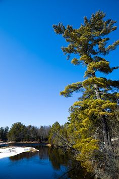 #ADK #Adirondacks #MooseRiver #OldForge - Tall Pine on the Moose River - Taken from the Highway 28 Bridge in Old Forge, New York.