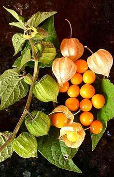 Physalis Peruviana - Related to the tomatillo. Bright yellow to orange in colour, about the size of a marble. Sweet when ripe, with a characteristic, mildly tart flavor, making it ideal for snacks, pies or jams. It is popular in salads and fruit salads, sometimes combined with avocado.