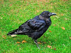 Um_corvo_londrino by Maria Clara Eusebio Rodrigues Maria Clara, Bird, The Crow, Animais, Tower Of London, Birds