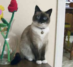 This cat looks EXACTLY like my cat Beans. Is she really a Snowshoe Cat? Are snowshoe cats known for being mean little sadists?