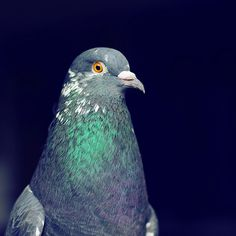 Camp the Pigeon
