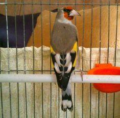 Goldfinch, Reptiles, Birds, Facebook, Dragon, Instagram, Youtube, Beautiful Birds, Animaux