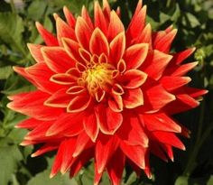 Swans Sunset Dahlia Flower Seed Pack byGardeningbylee $2.69  Very Fragrant Beautiful Blooms Great for gardens Comes with 10 seeds fresh and ready to plant!  36-48 inches tall.