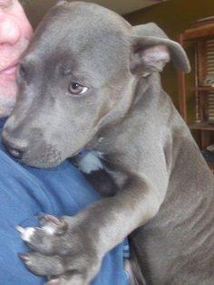 American Staffordshire Terrier puppy! @Caitlin Burton Burton Noblett  A Blue nose! So precious!