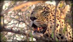 A sleeping Queen on #SafariLive @jamiepaterson4 9-27-16