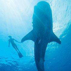 Ocean Ramsey (The Shark Whisperer) swims with a whale shark - Coastal Living