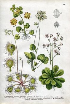 Stara rycina Rośliny zioła Łomikamień 1911 WAWA (5506968050) - Allegro.pl - Więcej niż aukcje.