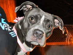 TO BE DESTROYED  11/26/2014 Manhattan Center   My name is JAVA. My Animal ID # is A1021342. I am a female gray pit bull mix. The shelter thinks I am about 3 YEARS old.  I came in the shelter as a STRAY on 11/21/2014 from NY 11222, owner surrender reason stated was STRAY.