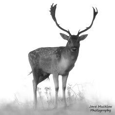 Black and white photograph of a male deer, on a misty morning, by Jane Mucklow Knole Park, Sevenoaks, Kent Available as a greetings card and print. Male Deer, Business Headshots, Flower Prints, Moose Art, Black And White, Landscape, Park, Photography, Animals