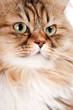 The Siberian Cat is an ancient Russian breed that has occurred naturally in the region of Siberia for over two thousand years.