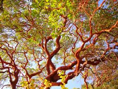 Arbutus madrone tree, useful for smaller spaces