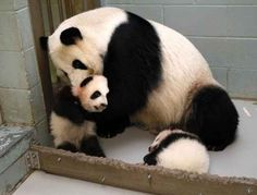 It's cool, Lun Lun, your babies actually ARE the cutest.   This Panda Mom Is Adorably Obsessed With Her Babies