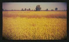 Il riso in maturazione nei campi del #Parco #Agricolo #Milano #parc www.parc-mi.it