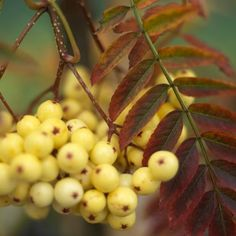 Joseph Rock 'Sorbus, qui produit des baies jaune vif à l'automne: