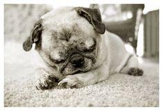 A Calm Pug Life by BearlyNoticeable.deviantart.com on @DeviantArt