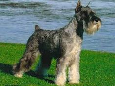 Image result for medium schnauzer pics puppies